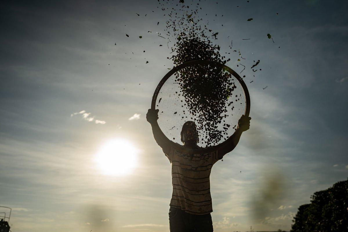 Frische Kaffeebohnen werden von brasilianischem Farmer gesiebt